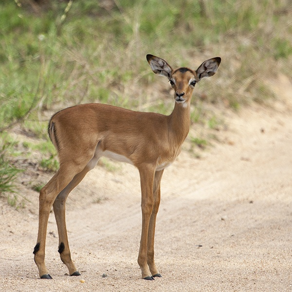 Impala fawn only weeks old
