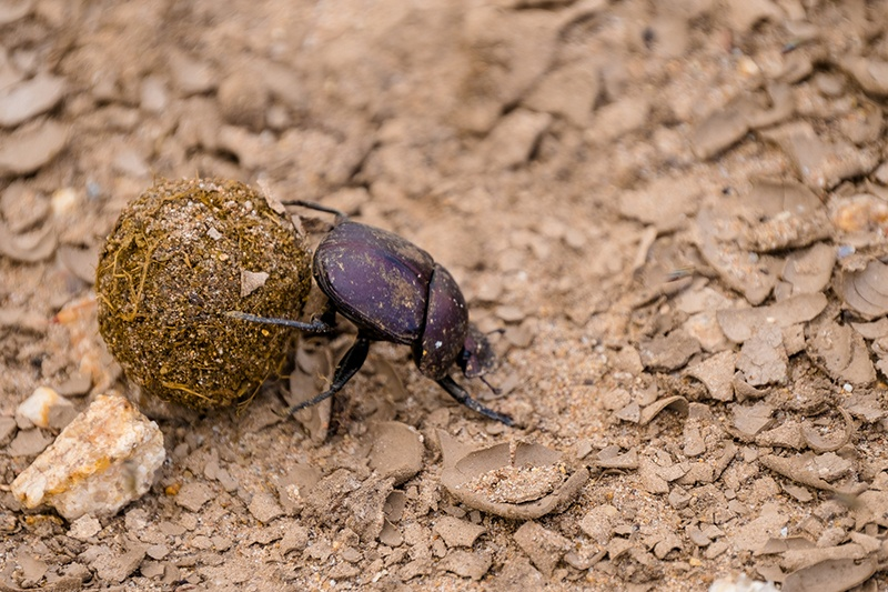 A dung beetle rolling away its feeding ball