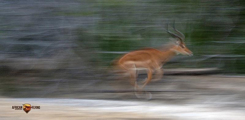 Impala ram in volle vaart - Pan techniek