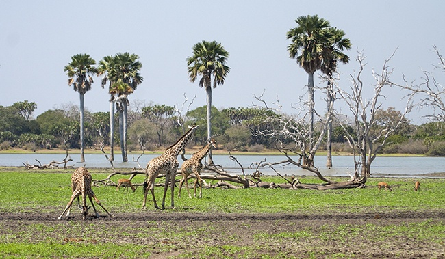 Water does attract wildlife like giraffe and impala